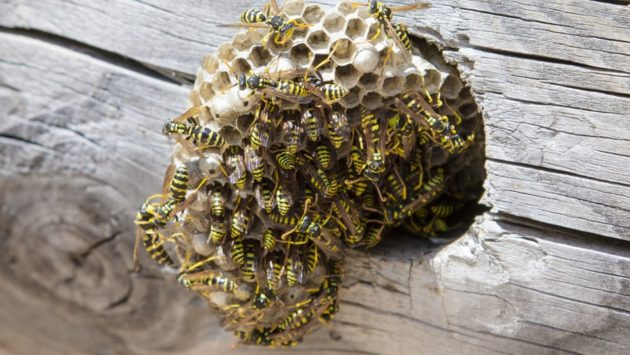 wasp nest in roof