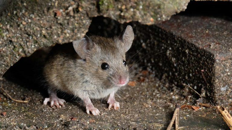 How to get Rid of Mice