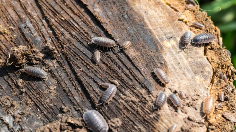 How to Get Rid of Woodlice